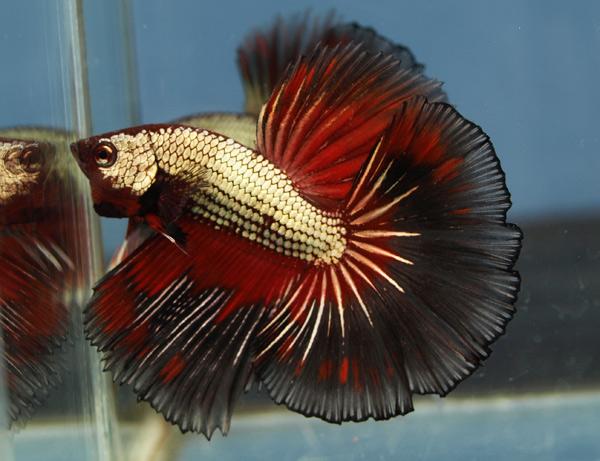 Neocities s s s for Prettiest betta fish